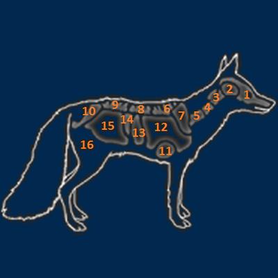 Red fox organs