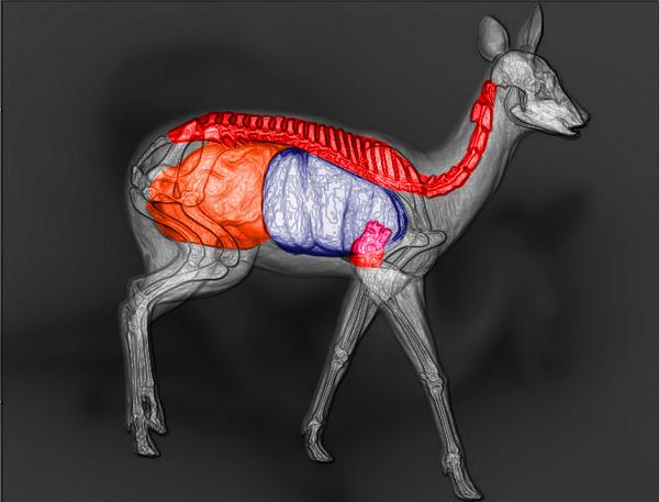 Musk deer shot scheme