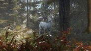 Albino Blacktail Deer