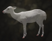 Axis Deer Albino