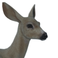Sitka deer female leucistic