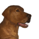 Labrador retriever foxred male