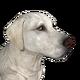 Labrador retriever white female