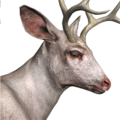 Blacktail deer male albino