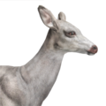Whitetail deer female albino