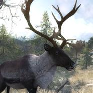 Reindeer bull close