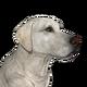 Labrador retriever white male