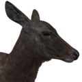 Rocky mountain elk female melanistic