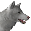 Grey wolf male albino