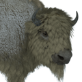 Bison male leucistic