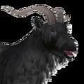 Feral goat male grey