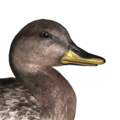 Gadwall female hybrid