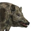 Feral hog female piebald