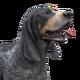 Bluetick coonhound dark male