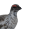 Rock ptarmigan male common