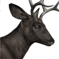 Blacktail deer male melanistic