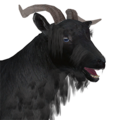 Feral goat female grey