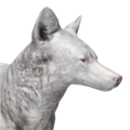 Coyote male albino
