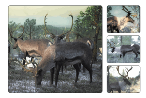 Species reindeer 700