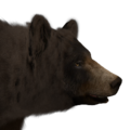 Black bear male chocolate