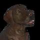 Labrador retriever chocolate female