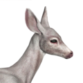 Blacktail deer female albino