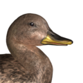 Gadwall female common