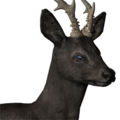 Roe deer male melanistic