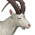 Alpine ibex male albino