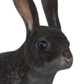 European rabbit male melanistic