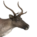 Reindeer female common