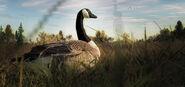 Canada goose 01