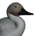 Northern pintail male leucistic