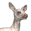 Roe deer female albino