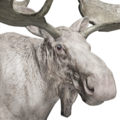 Moose male albino