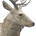 Rocky mountain elk male leucistic