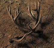Shed reddeer antlers