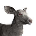 Sambar deer female albino