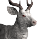 Rusa deer male albino