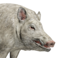 Feral hog male albino