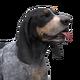 Bluetick coonhound light male