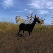 Species ROE D melanistic