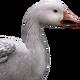 Snow goose male common