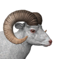 Bighorn sheep male albino