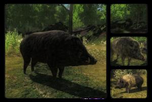 Species feral hog 700