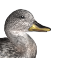 Gadwall male common