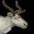 Reindeer female leucistic