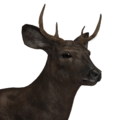 Sitka deer male melanistic