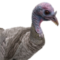 Turkey female grey