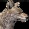 Coyote male common